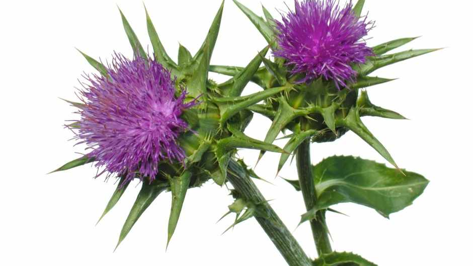 Does milk thistle can cure hangovers? © Getty Images