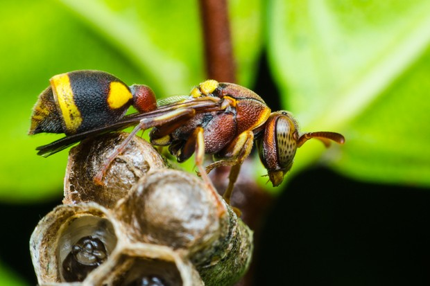 Asian hornet © Getty Images
