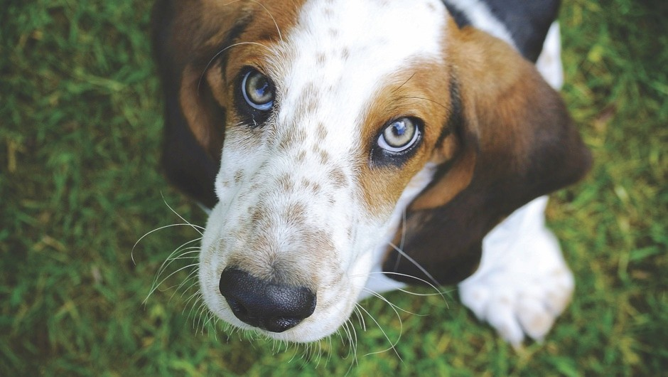 Dogs can sniff out lung cancer with nearly 97 per cent accuracy