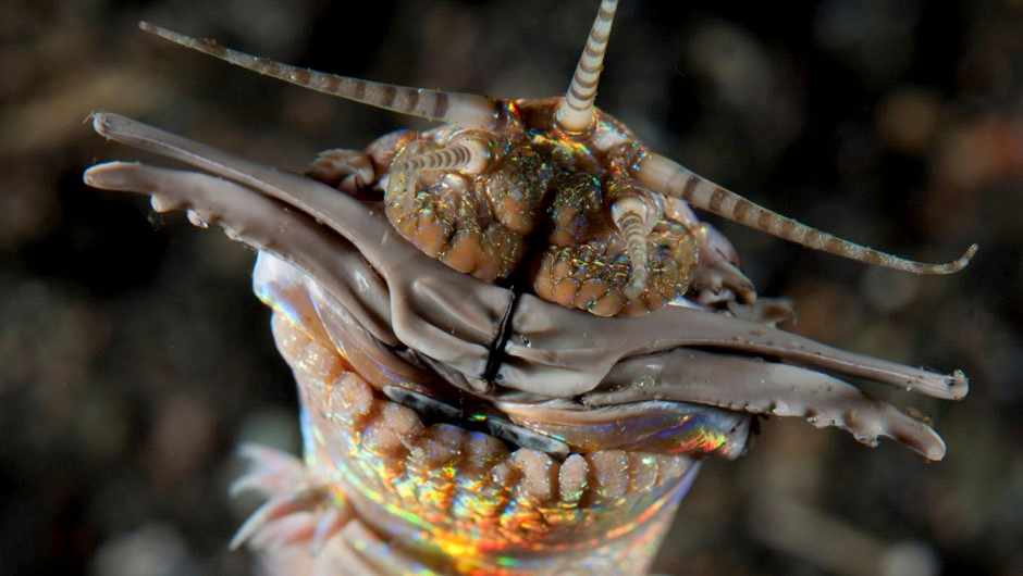What is a bobbit worm? © Alamy