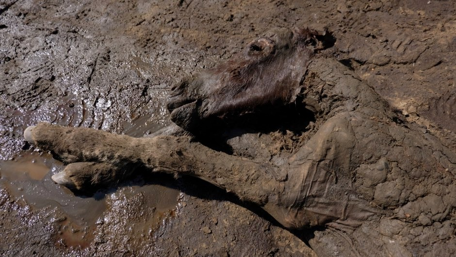Oldest-ever liquid blood found in 42,000-year-old ice age horse