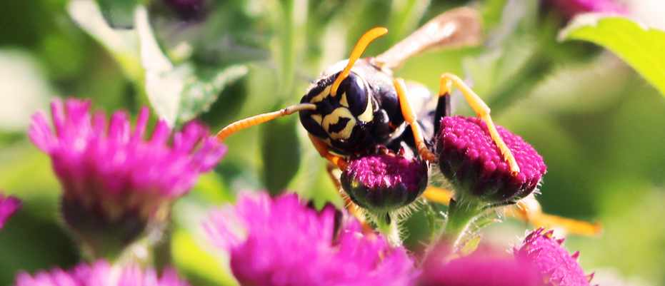 Paper wasps capable of logical reasoning © Elizabeth Tibbetts