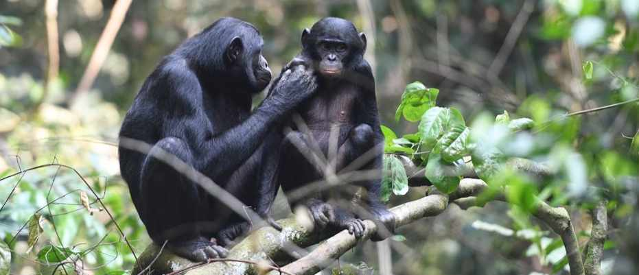 Bonobo mums drag their sons to ovulating females