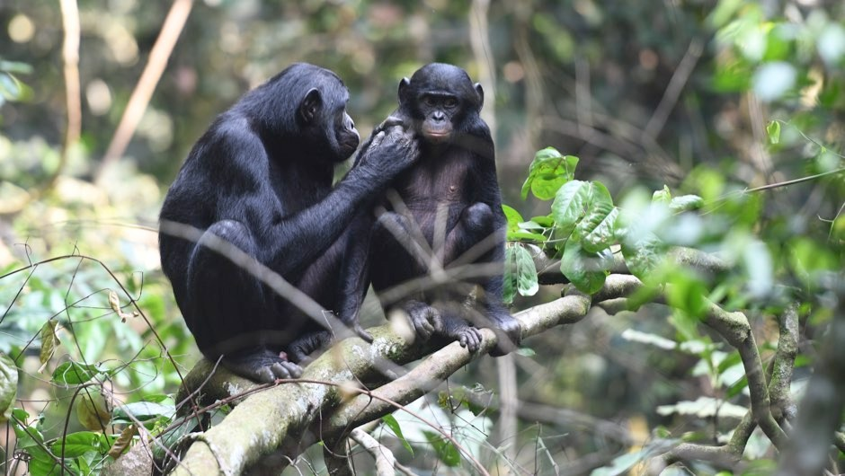 A young juvenile male bonobo is groomed by his mom in the Kokolopori Bonobo Reserve © Martin Surbeck