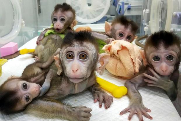 Monkeys with human brain genes: has it crossed an ethical line? © Getty Images