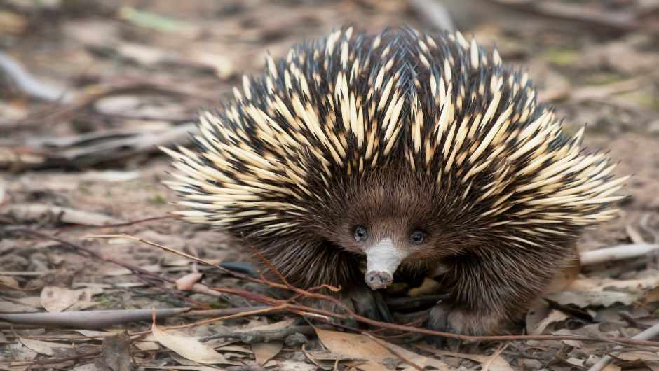 What is an echidna? © Getty Images