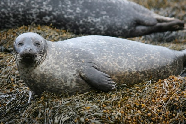 Seals use thought to prepare body for diving (A juvenile harbour seal © Monica Arso Civil, Sea Mammal Research Unit)