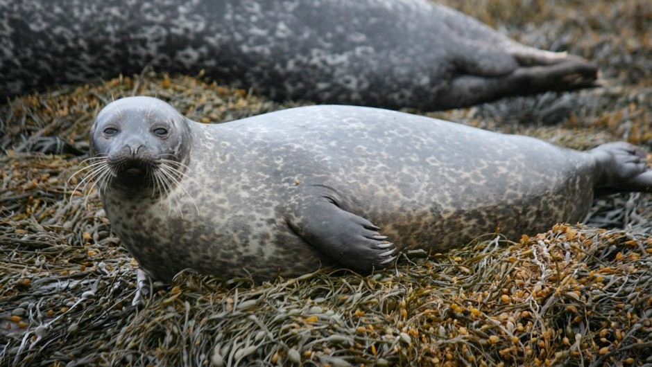 Seals use thought to prepare body for diving