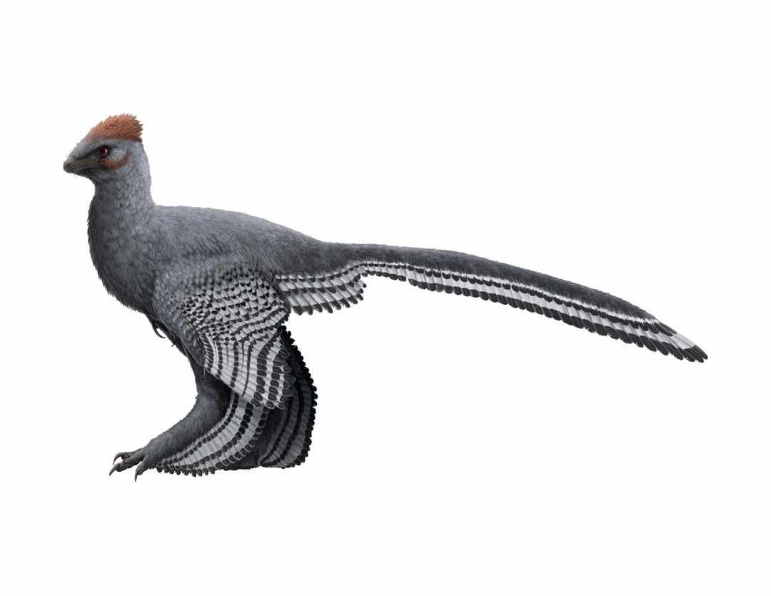 Anchiornis huxleyi © Gabriel Ugueto