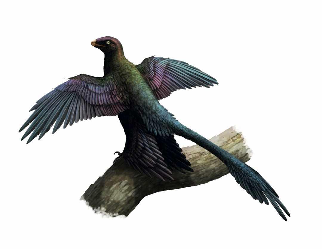Microraptor gui © Gabriel Ugueto