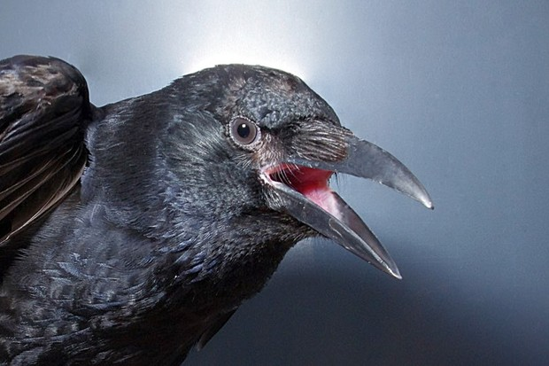 Carrion Crow vocalizing Image Credit: Tobias Machts