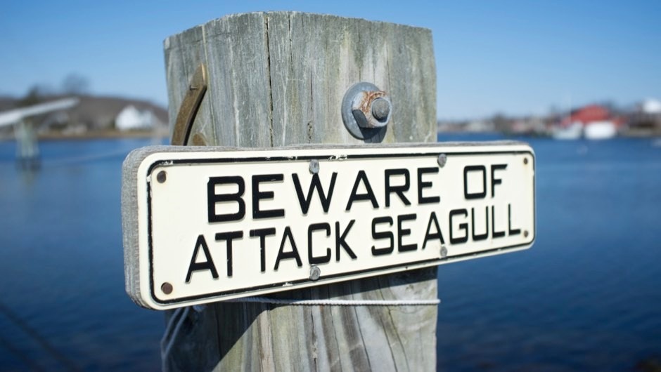 Seagulls: are they getting more aggressive?