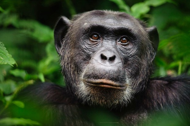 "Chimps' working memory ""similar to seven-year-old children"" © Getty Images"