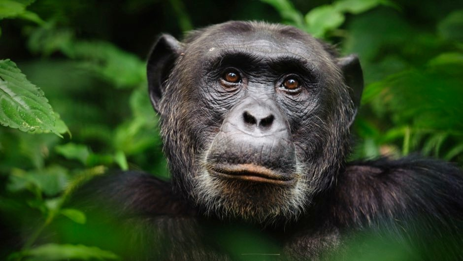 "Chimps' working memory ""similar to seven-year-old children"""