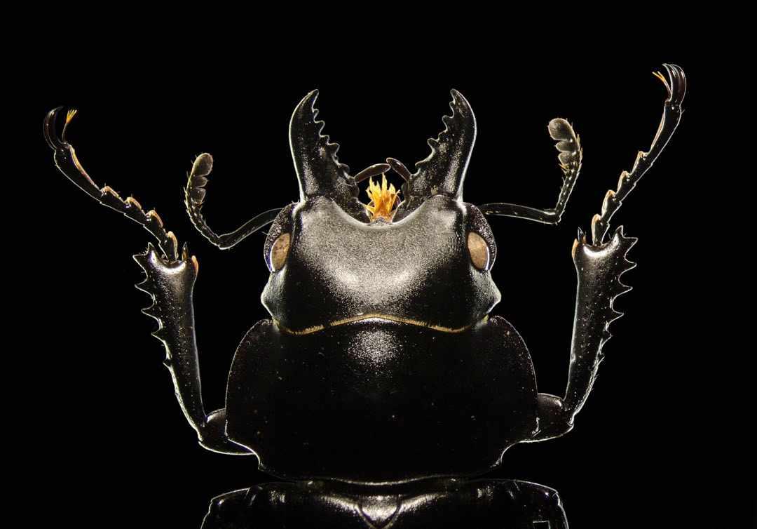 Stag beetle Light microscopy of a stag beetle. © Viktor Sýkora
