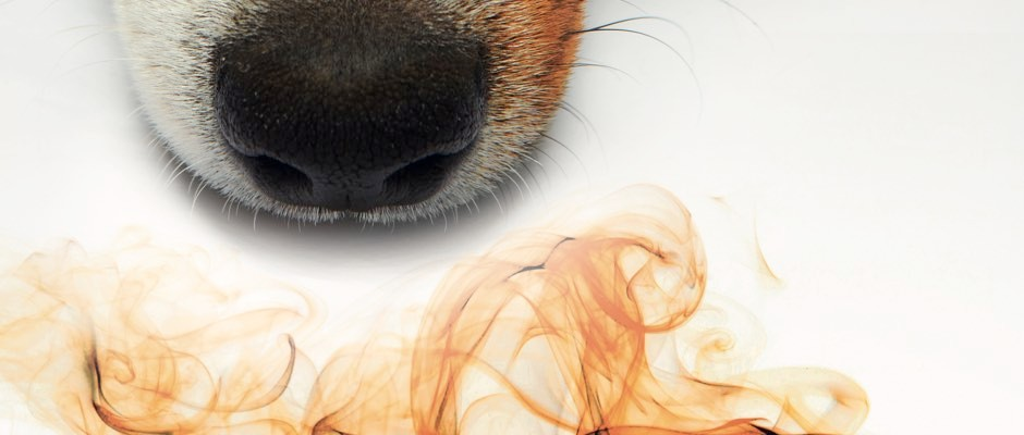 Sniffing out disease: the power of smell in diagnosing illness
