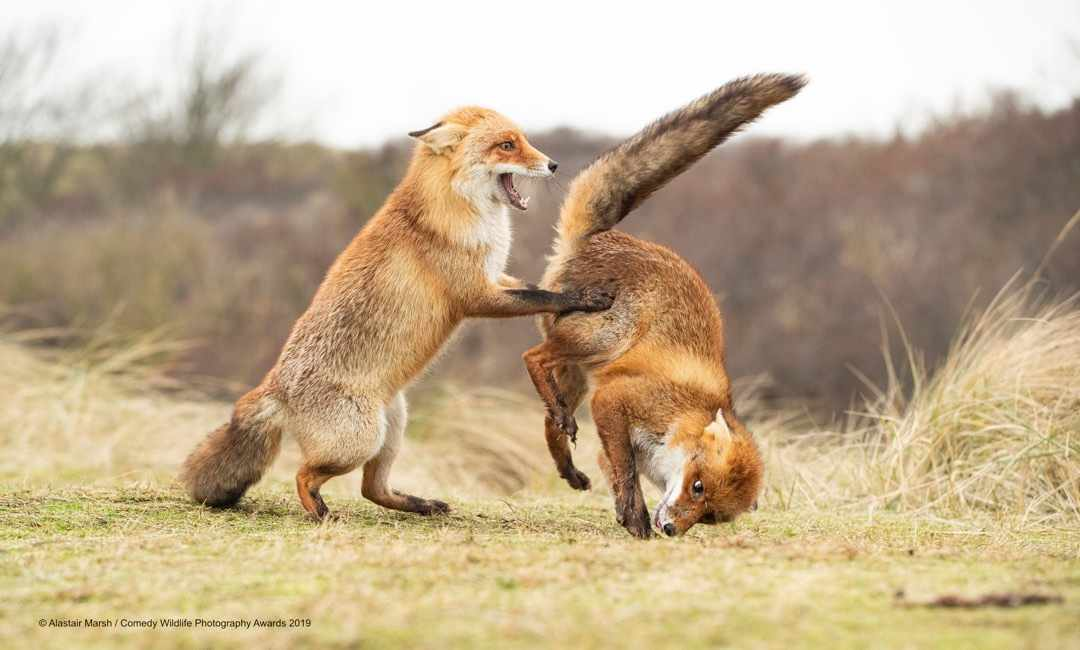 Waltz gone wrong © Alastair Marsh / Comedy Wildlife Photo Awards 2019