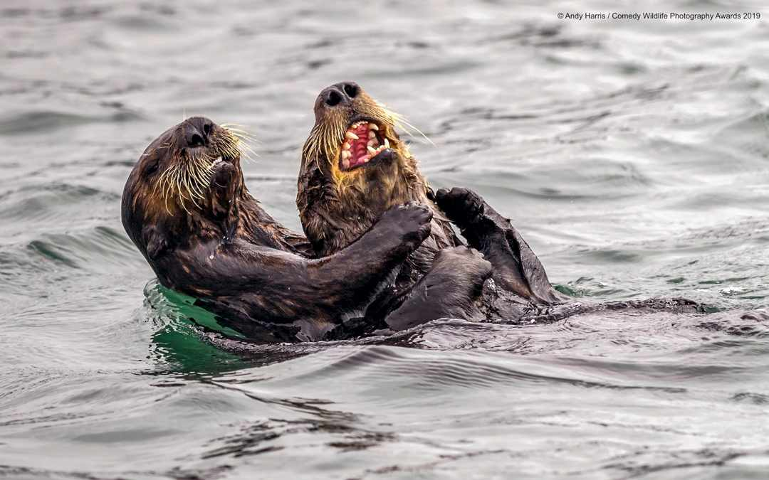 Sea otter tickle fight © Andy Harris / Comedy Wildlife Photo Awards 2019
