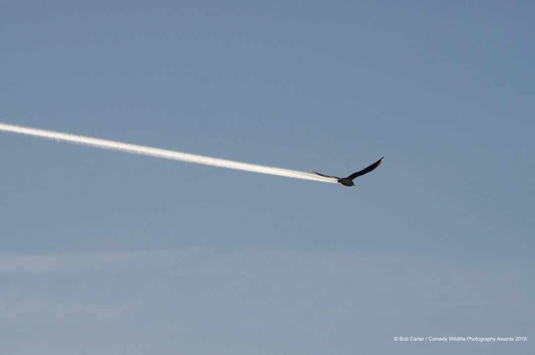 Is it a bird? Is it a plane? © Bob Carter / Comedy Wildlife Photo Awards 2019