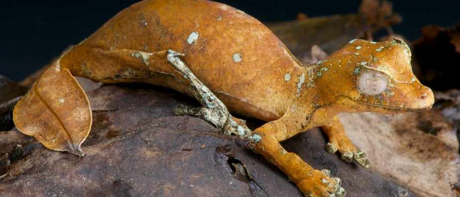 What is the satanic leaf-tailed gecko? © Alamy