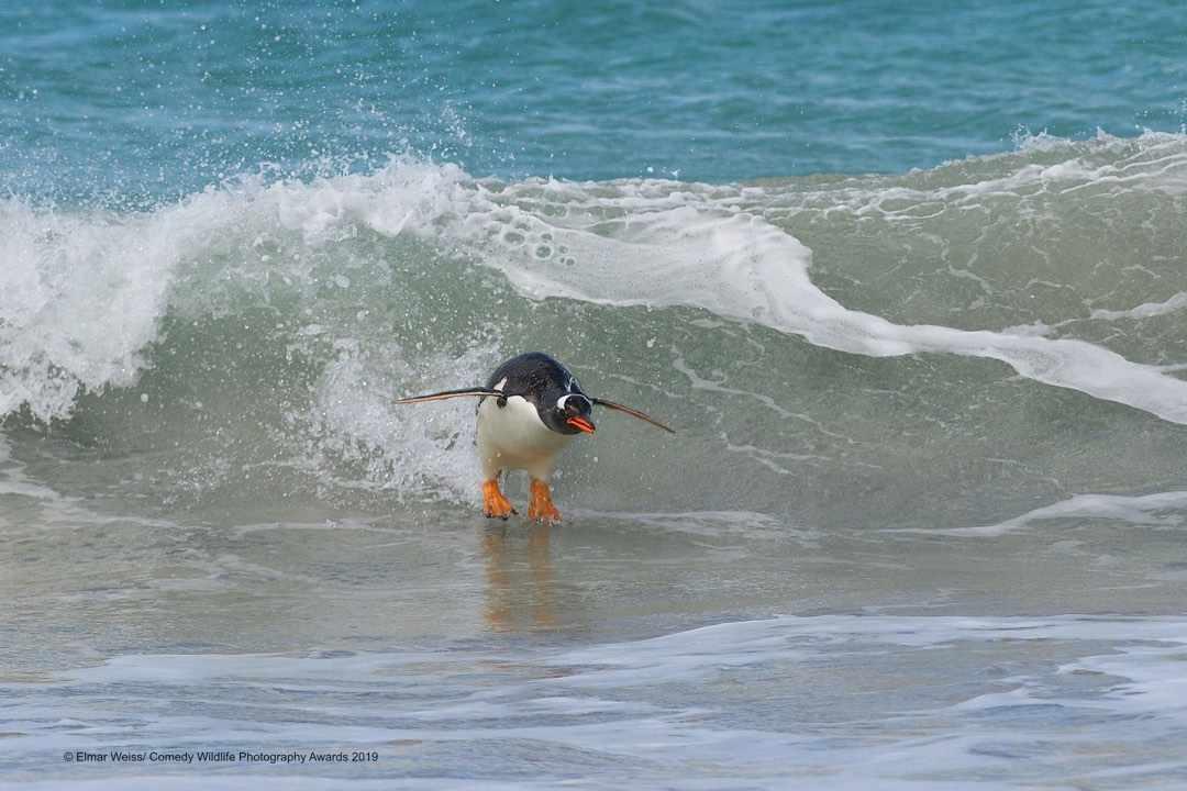 Surfing, South Atlantic style © Elmar Weiss / Comedy Wildlife Photo Awards 2019