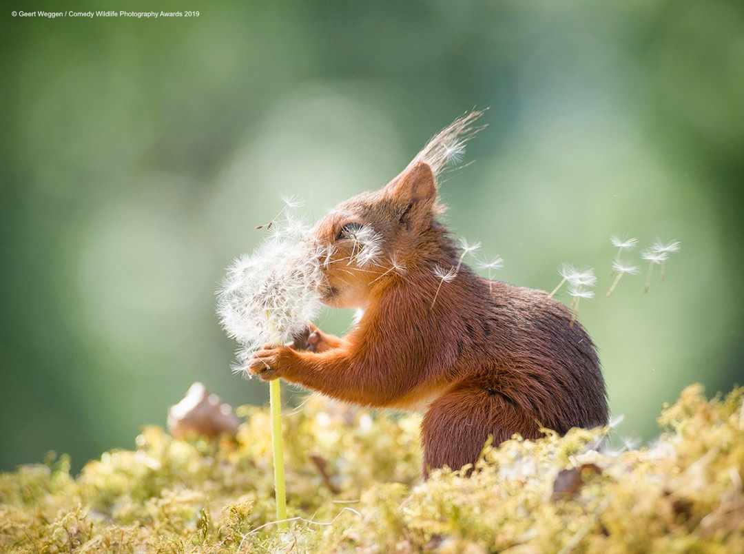 Squirrel wishes © Geert Weggen / Comedy Wildlife Photo Awards 2019