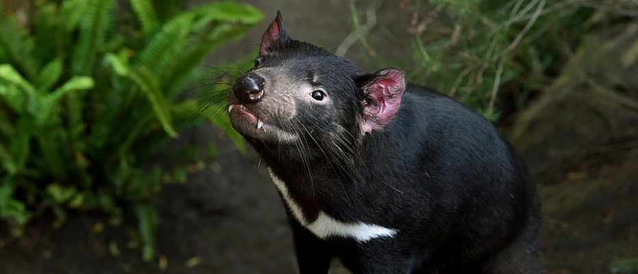 Tumours in Tasmanian devils could reveal new immunotherapy cancer treatments © Getty Images