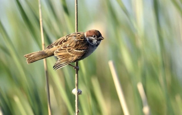 Eurasian tree sparrow © Getty Images