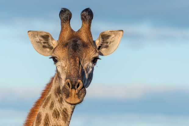 What noise does a giraffe make? © Getty Images