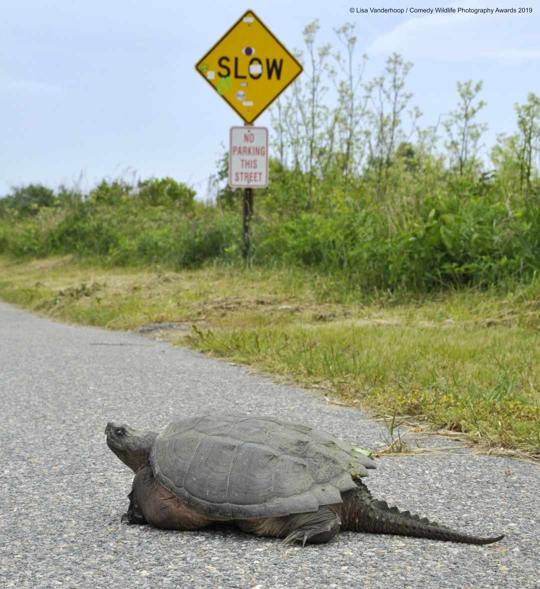 Snarling snappin' in the slow lane © Lisa Vanderhoop / Comedy Wildlife Photo Awards 2019