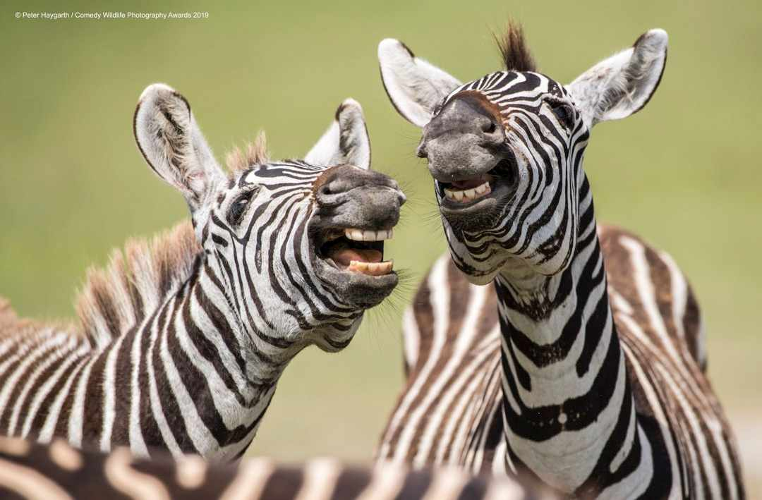 Laughing zebra © Peter Haygarth / Comedy Wildlife Photo Awards 2019