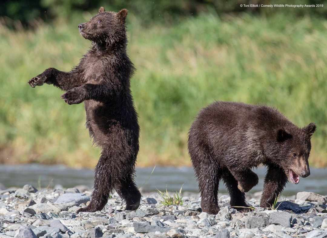 Grizzly babies © Toni Elliott / Comedy Wildlife Photo Awards 2019