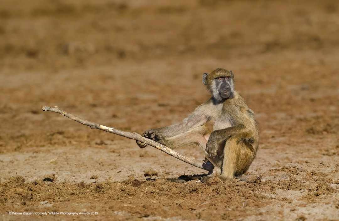 Baboon fishing © Willem Kruger / Comedy Wildlife Photo Awards 2019