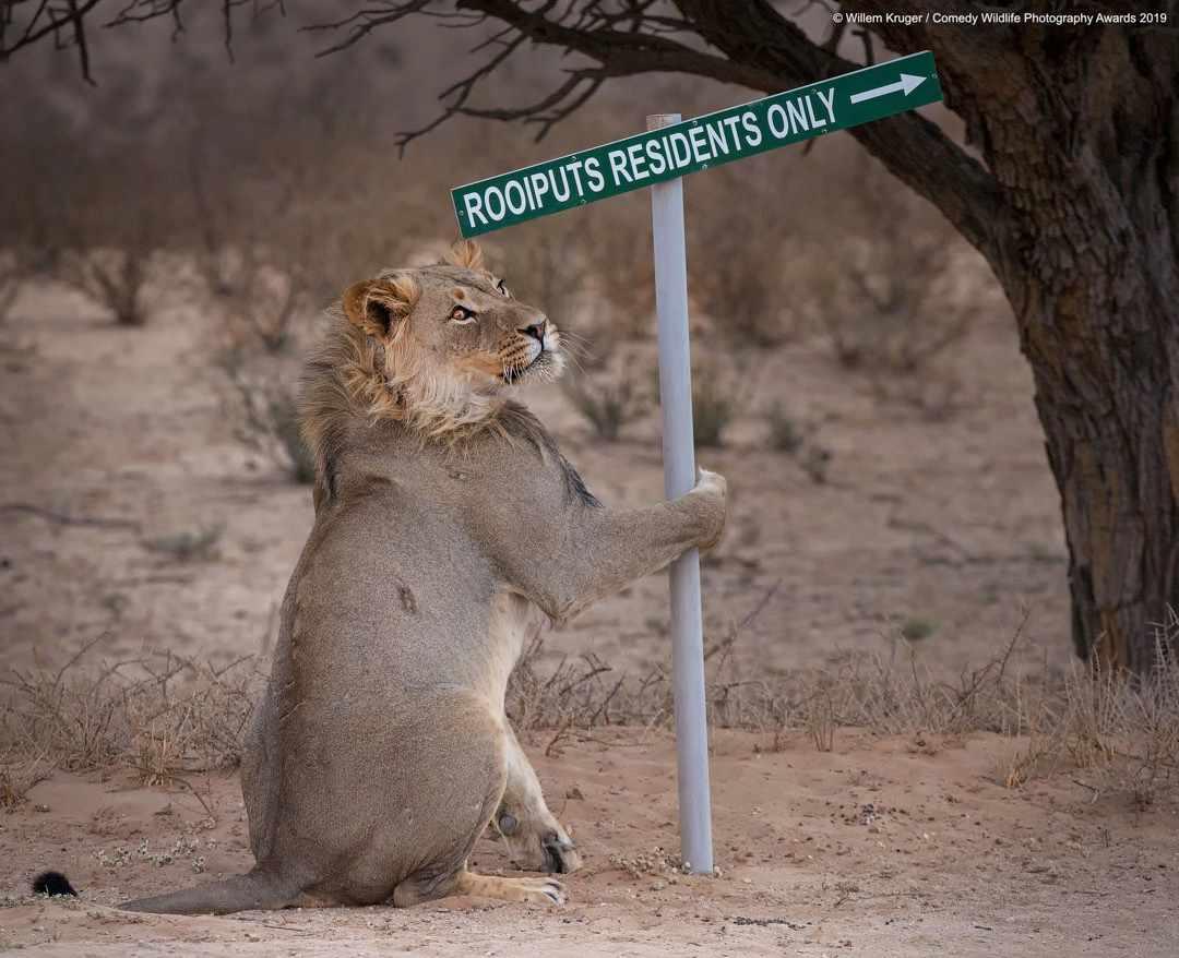 Lion takeaway © Willem Kruger / Comedy Wildlife Photo Awards 2019