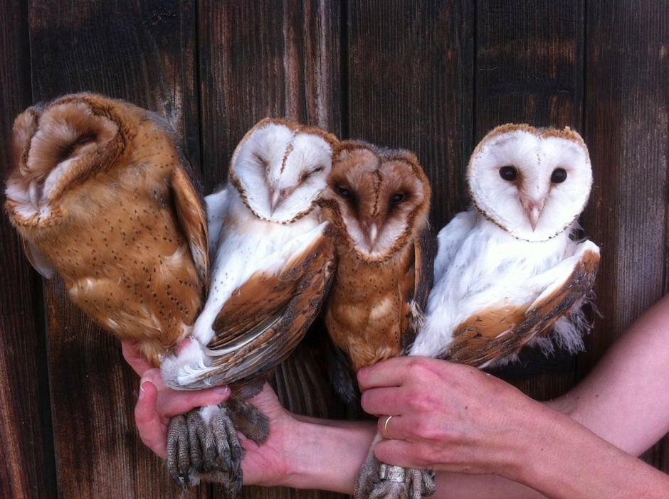 Nestling barn owls with varying colouration © Alexandre Roulin/PA