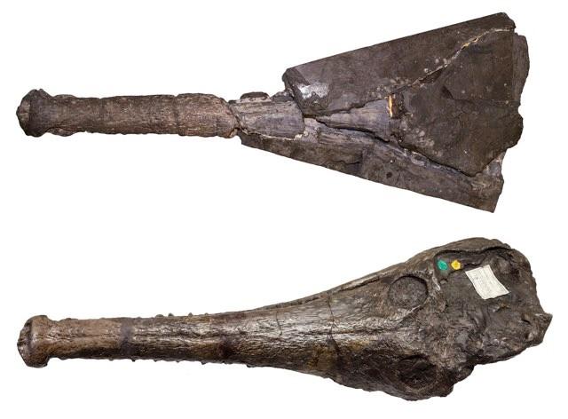 A Mystriosaurus skull seen from above (Sven Sachs/Michela Johnson/PA)
