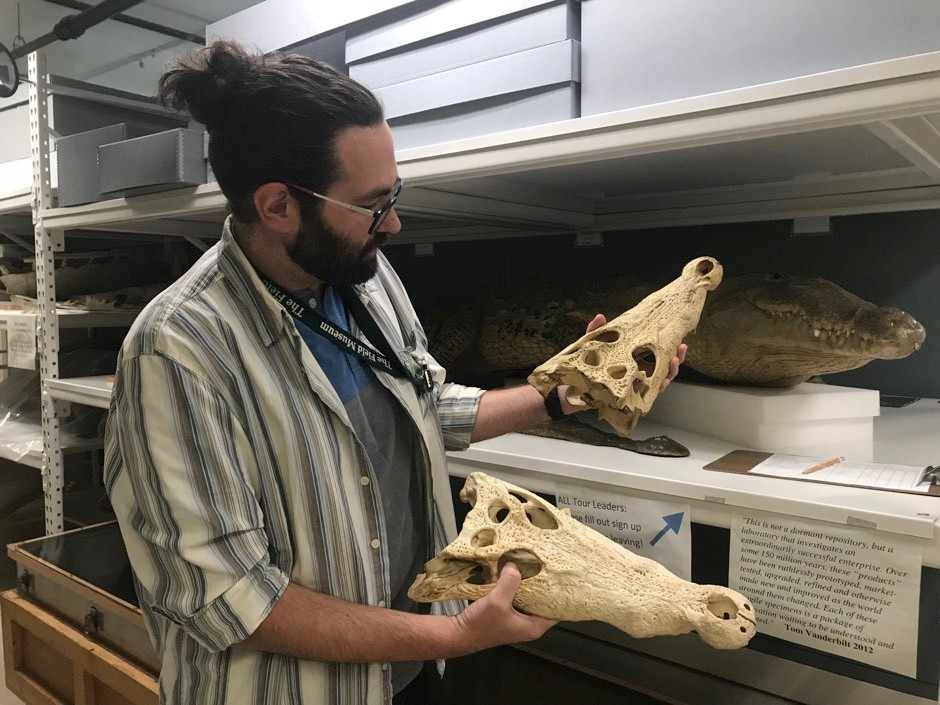 Author Caleb McMahan examining crocodile skulls in the Field Museum's collections © Kate Golembiewski/Field Museum