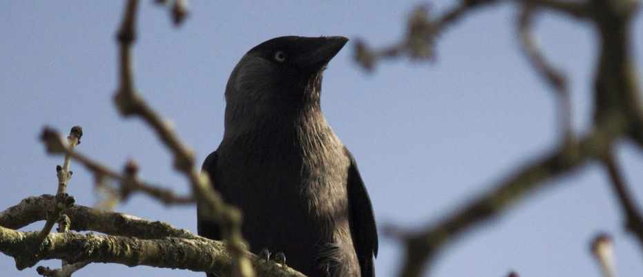 Jackdaws learn from each other which humans are dangerous © Guill McIvor/University of Exeter