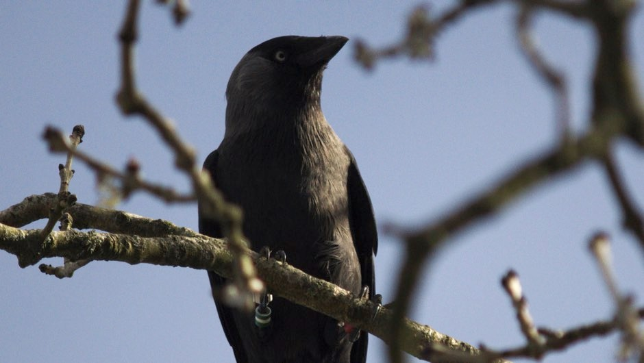 Jackdaws learn from each other which humans are dangerous