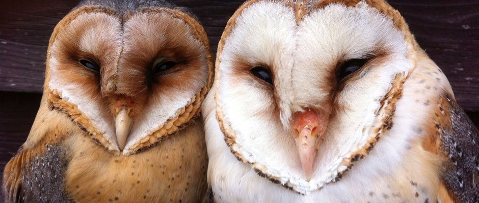 Barn owls' bright white plumage used for startling prey