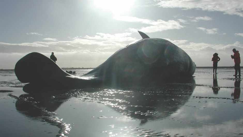 Whales and dolphins: Why are more of them beaching around the UK? © CSIP Organisation