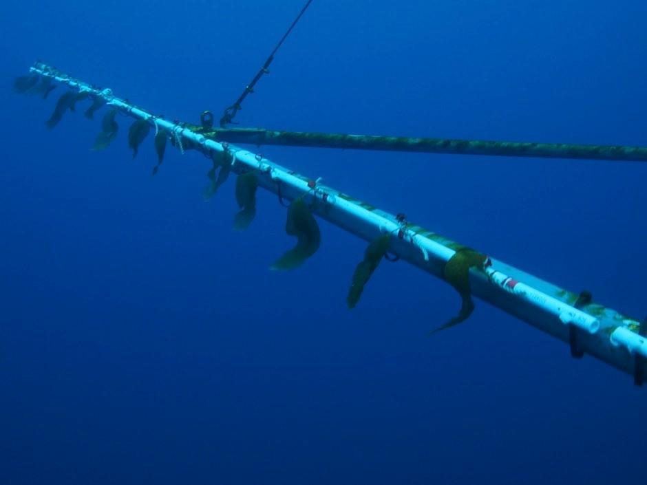 Juvenile kelps averaged ~25cm at the beginning © David Ginsburg, University of Southern California