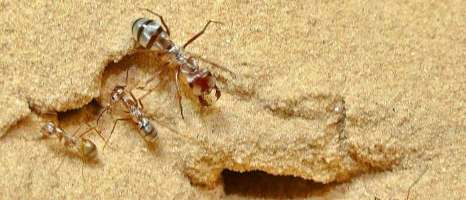 Relative to body size, Saharan Silver Ants sprint 20x faster than Usain Bolt (These are Saharan silver ant (Cataglyphis bombycina) workers in the desert at Douz, Tunisia © Harald Wolf)