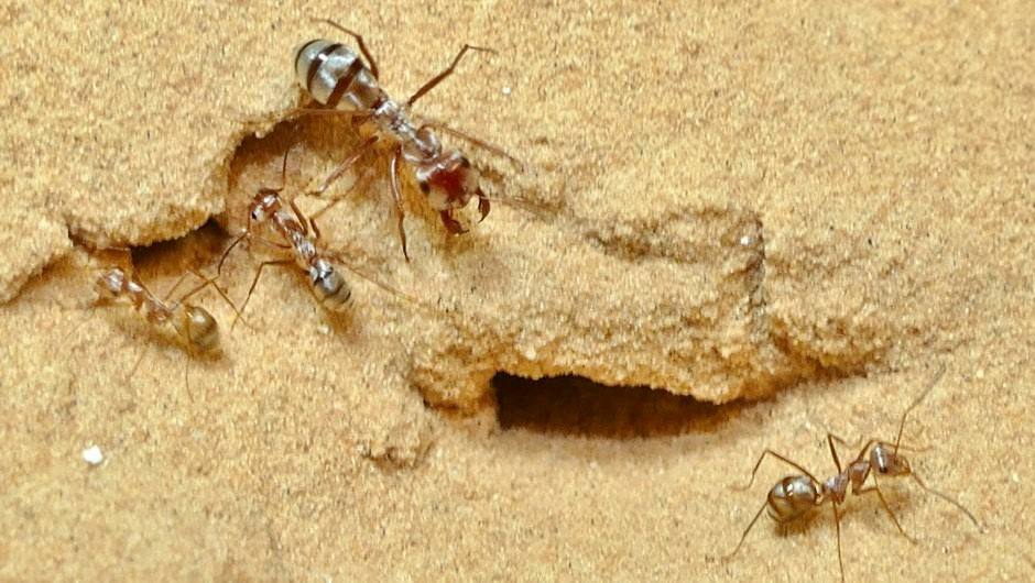 Relative to body size, Saharan silver ants sprint 20x faster than Usain Bolt