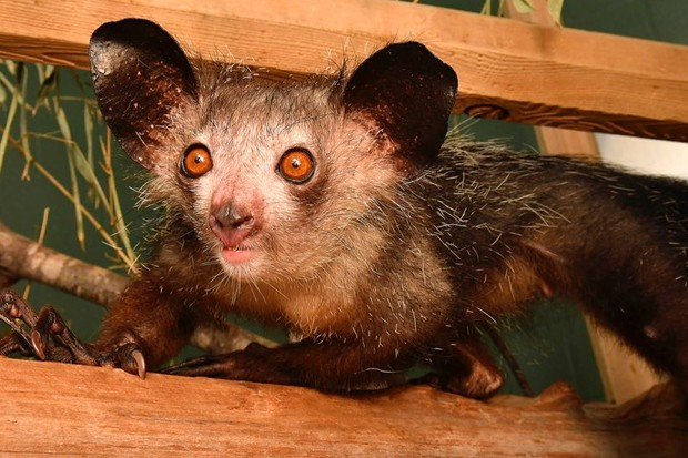 Aye-aye the first primate with a sixth finger © David Haring/Duke Lemur Center