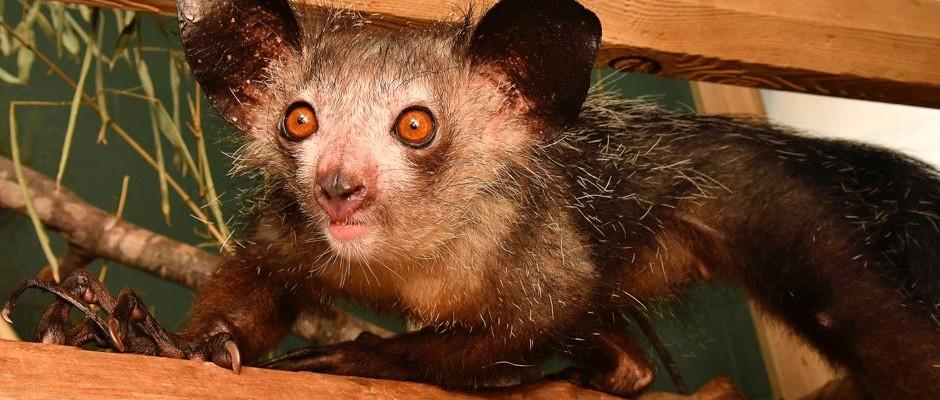 Rare Baby Aye-Aye Born At Duke Lemur Center   Raleigh, NC