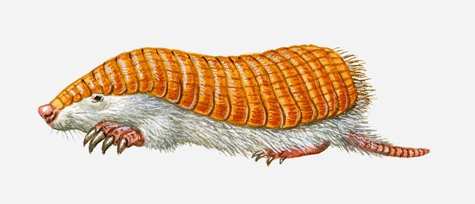 What is a pink fairy armadillo? © Getty Images