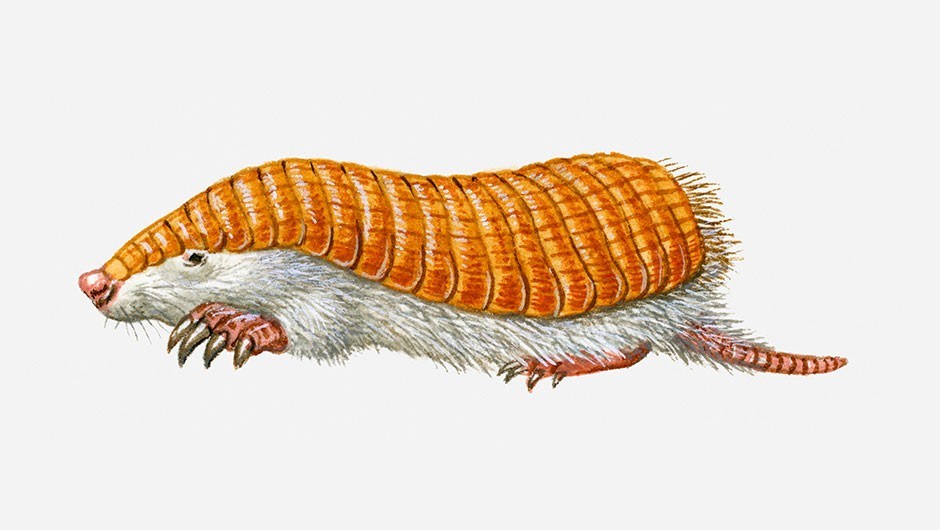 What is a pink fairy armadillo?