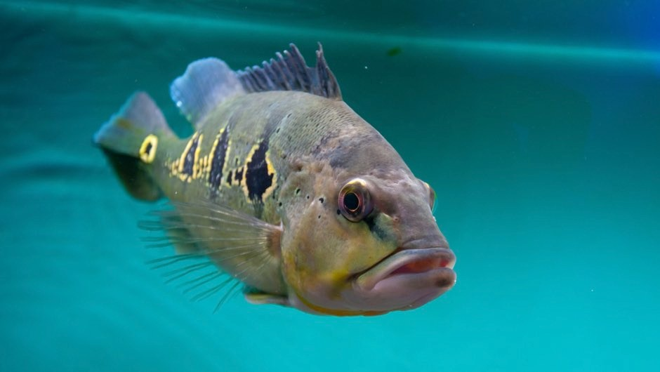 Fish do feel pain, study confirms