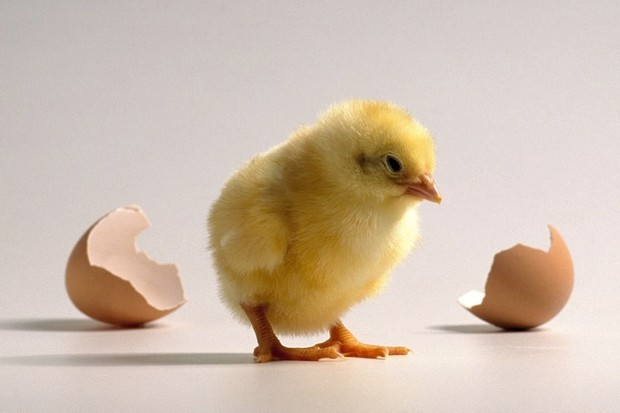 Chicken, run! Newborn chicks born able to 'recognise and react' to dangers © Getty Images